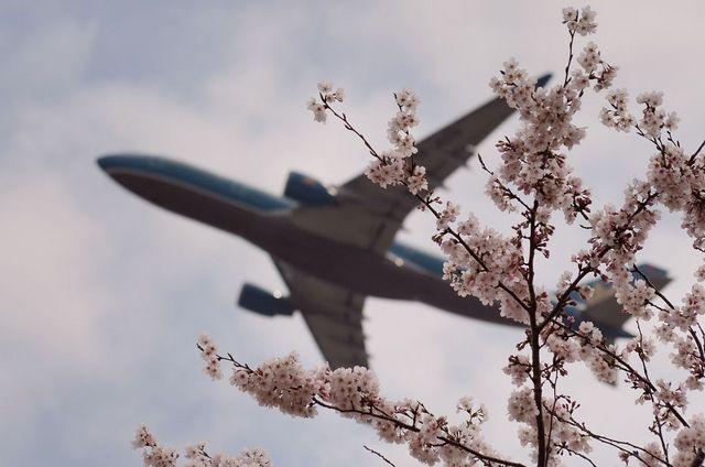 ベトナム航空のA330と桜