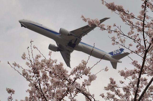 全日空のB777-300と桜