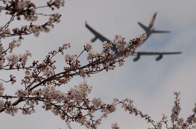 桜とルフトハンザのA340-300