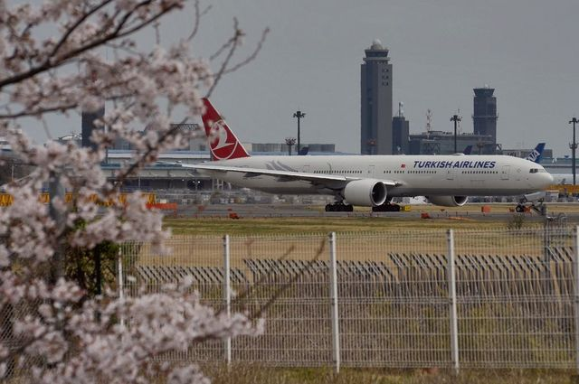 トルコ航空のB777-300と桜